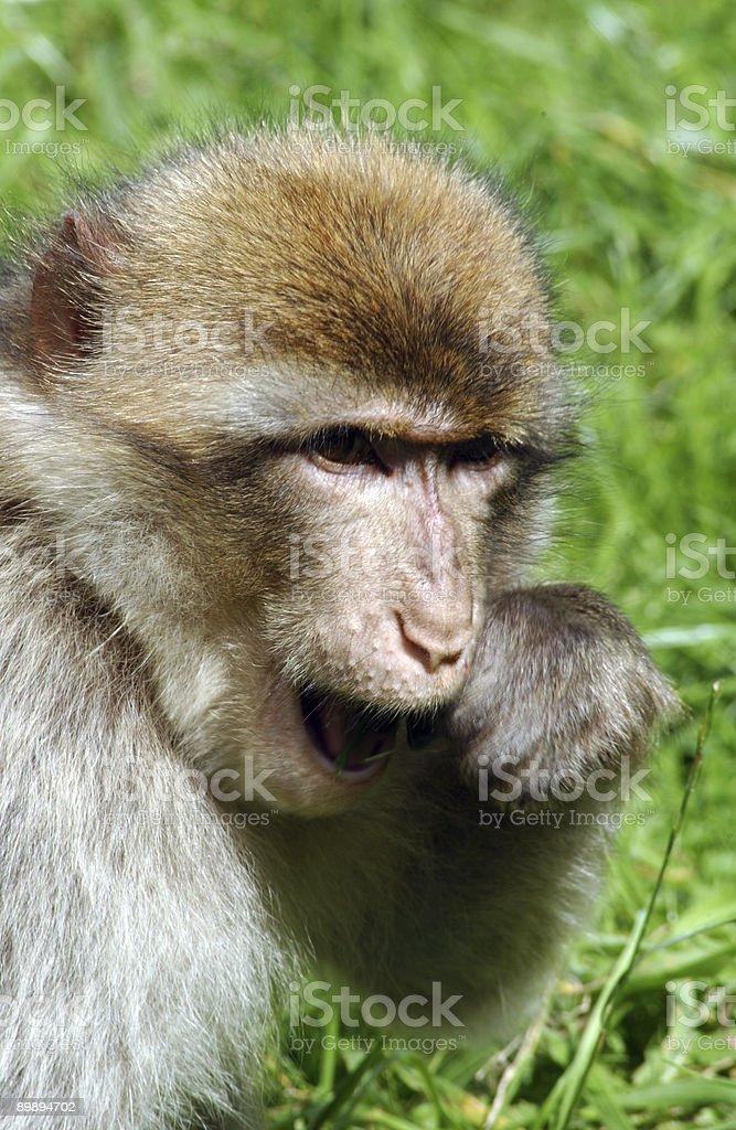 Monkey eating food royalty-free stock photo