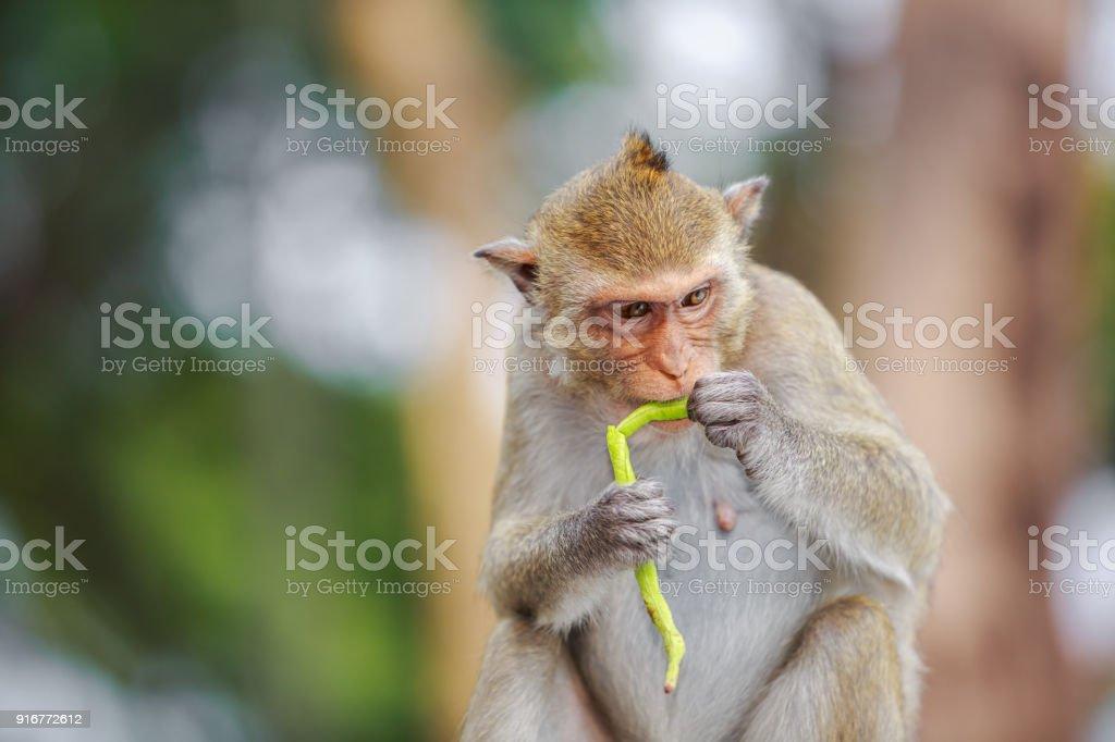 Monkey eating vegetable stock photo