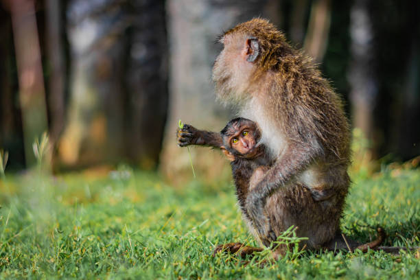 Monkey eating-crab macaque (long-tailed macaque) mother is feeding its young attached to its breast in Koh Lanta island in the National Park, Thailand – zdjęcie