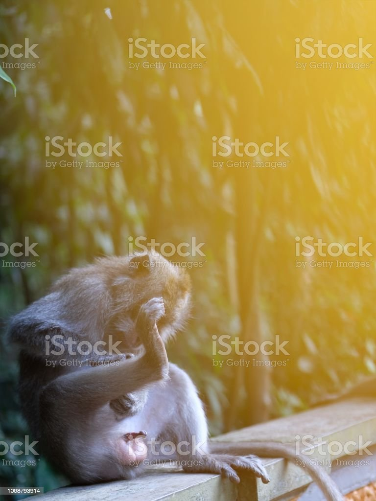 Monkey Erection stock photo