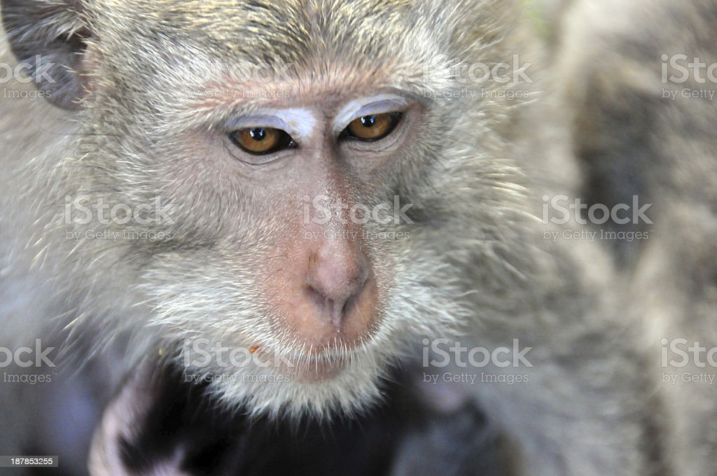monkey face close-up Monkey face close-up - long-tailed / grey macaque, Macaca fascicularis (Kukuh, Tabanan, Bali, Indonesia)- photo by Adult Stock Photo