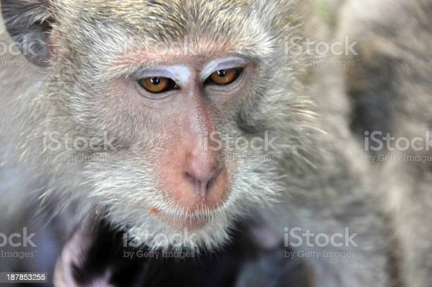 Monkey Face Closeup Stock Photo - Download Image Now