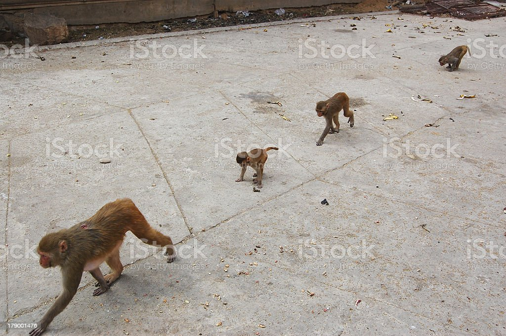 Monkey family in Galtaji Temple, nearby Jaipur, India. royalty-free stock photo