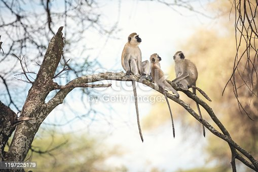 Monkey family sitting on a tree (Tarangire National Park, Tanzania).