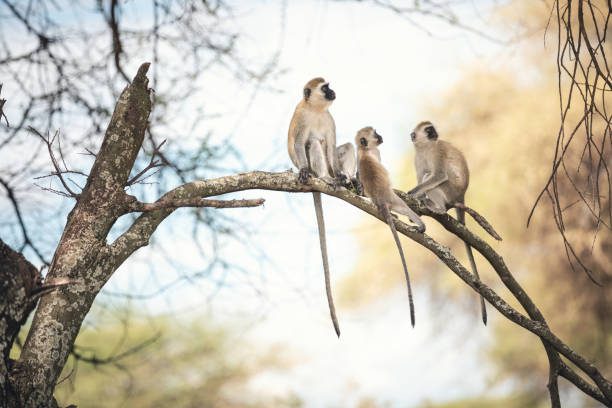 monkey family - borchee stock pictures, royalty-free photos & images