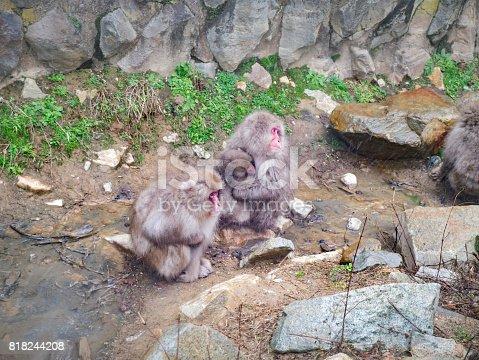 Snow monkeys in Jigokudani Park, Yudanaka. Nagano Japan