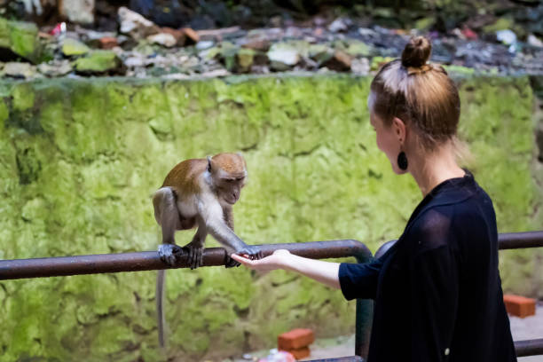 Monkey feeding Batu Cave temple Beautiful hinduism temple Batu Caves in Kuala Lumpur capital city of Malaysia. Feeding funny macaque monkey in south east Asia. batu caves stock pictures, royalty-free photos & images