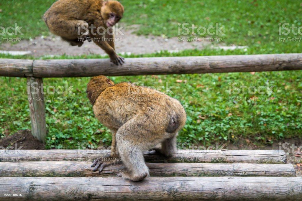 Monkey forest - Fighting – Foto