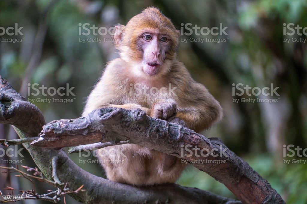 Monkey forest - Grinning infant – Foto