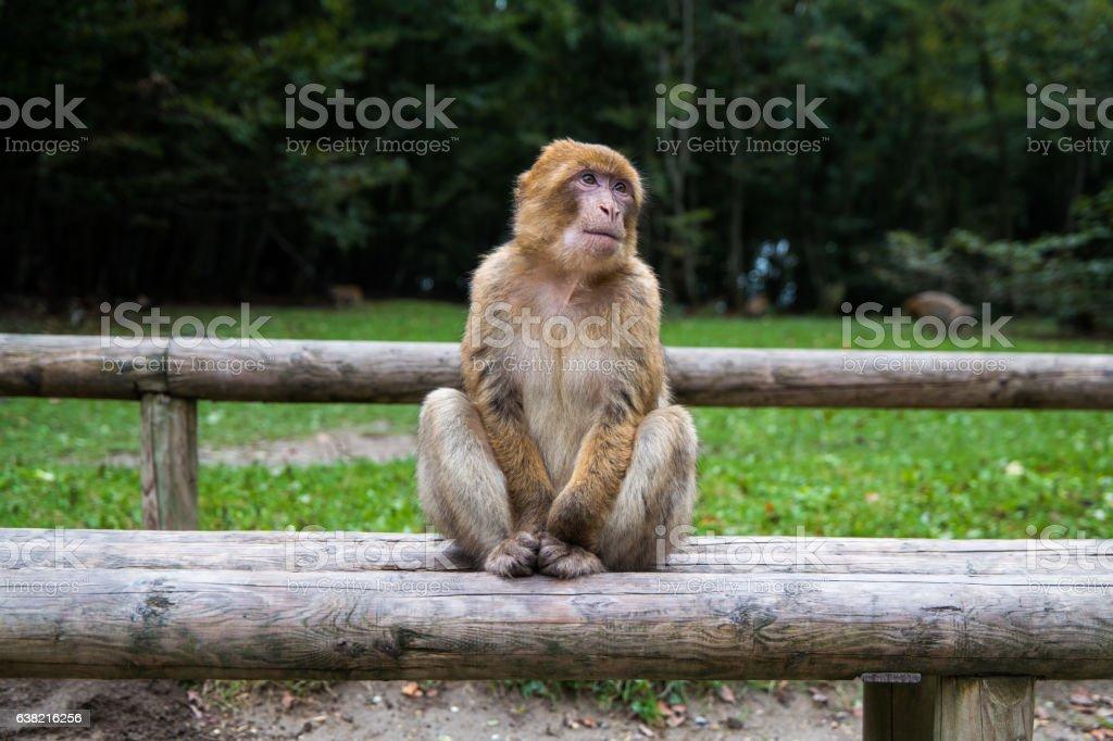 Monkey forest - Grinning – Foto