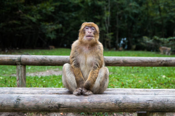 Monkey forest - Grinning – Foto