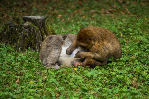 Monkey forest - Grooming – Foto