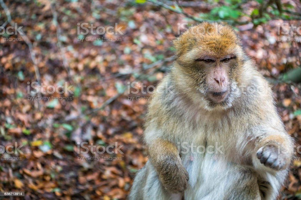 Monkey forest - Grumpy monkey – Foto