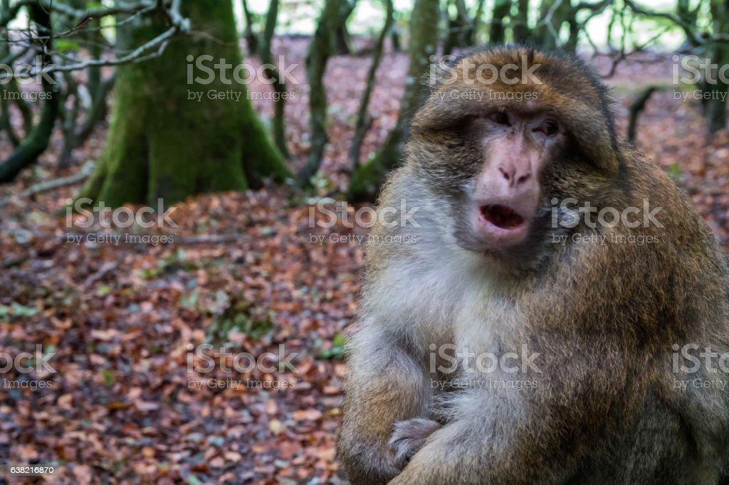 Monkey forest - Grumpy monkey sitting – Foto