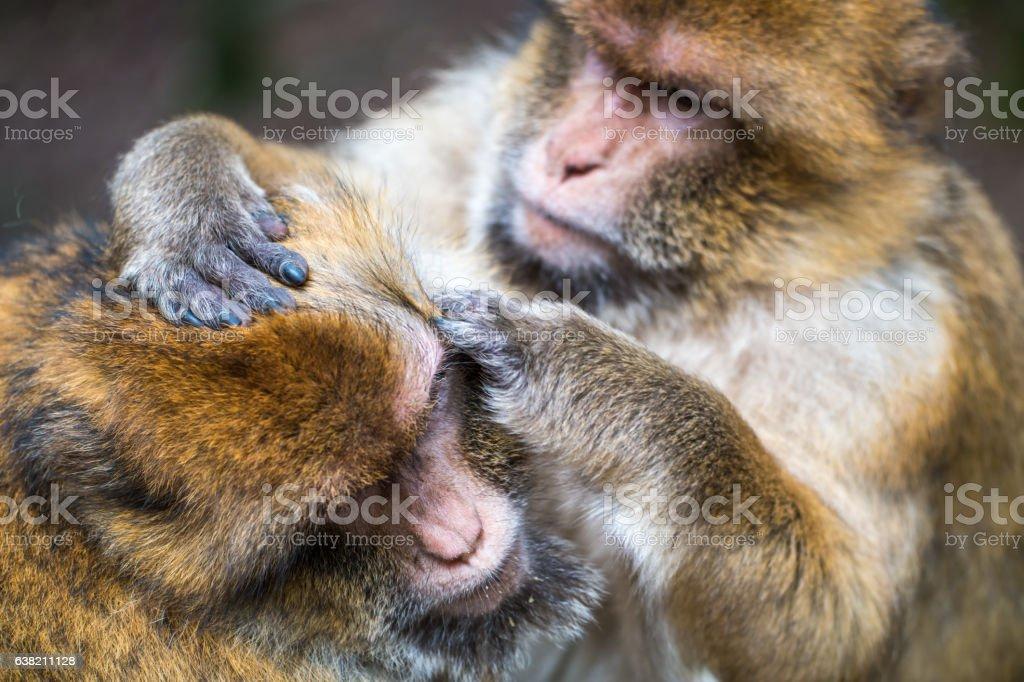 Monkey forest - Hard grooming – Foto