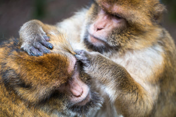 Monkey forest - Hard grooming – Foto