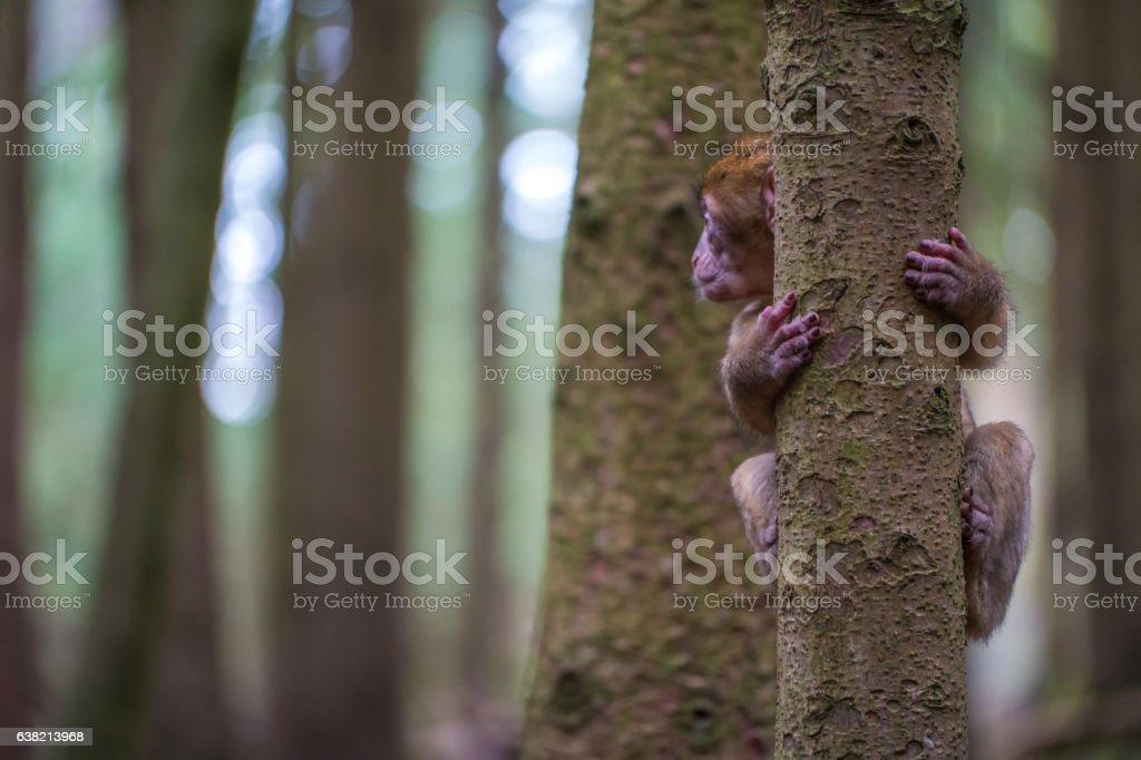 Monkey forest - Infant climbing tree – Foto