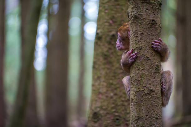 Monkey forest - Infant climbing tree – Foto