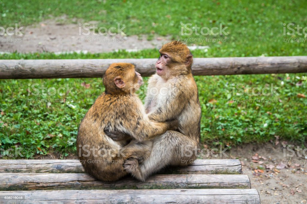 Monkey forest - Kissing – Foto