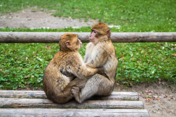 Monkey forest - Kissing – Foto