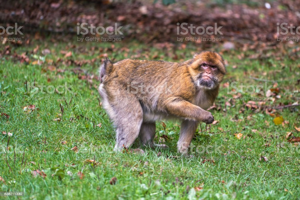 Monkey forest - Looking for food – Foto