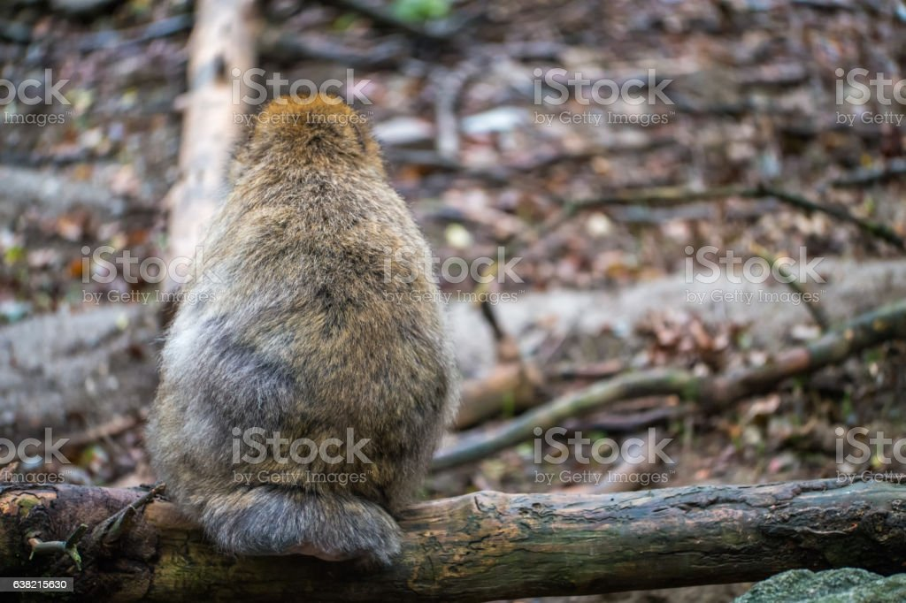 Monkey forest - Showing his back – Foto
