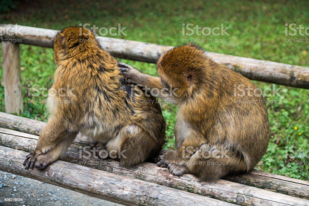 Monkey forest - Two monkeys groom eachother – Foto