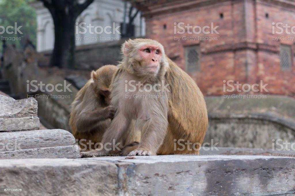 Monkey from Pashupatinath Temple Nepal. stock photo