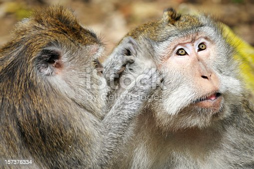 Two wild long-tailed macaques in the Sacred Monkey Forest, Ubud, Bali in Indonesia.