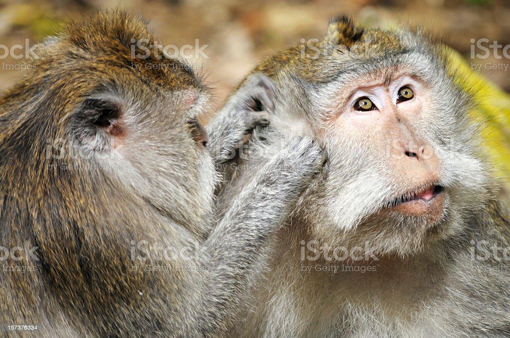 Monkey Grooming stock photo