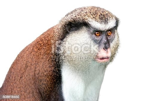 Guenon monkey closeup portrait with white cutout background.