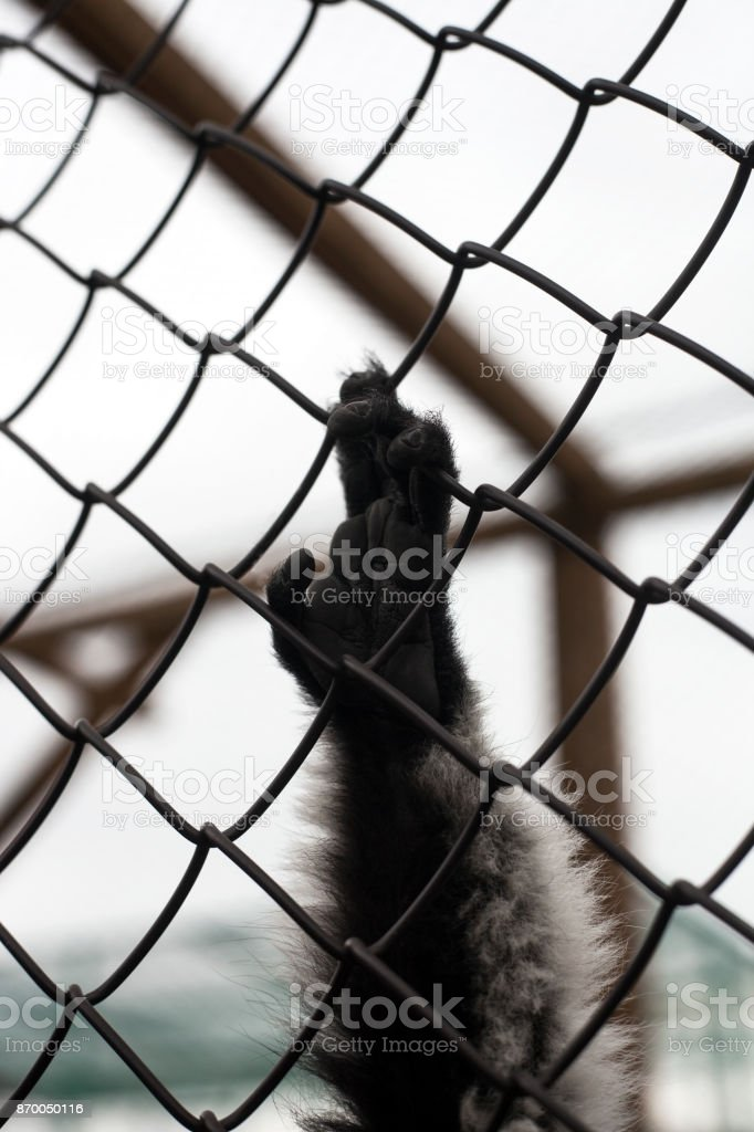 Monkey hand on bars of grate stock photo