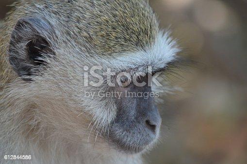 Monkey , makro, Africa