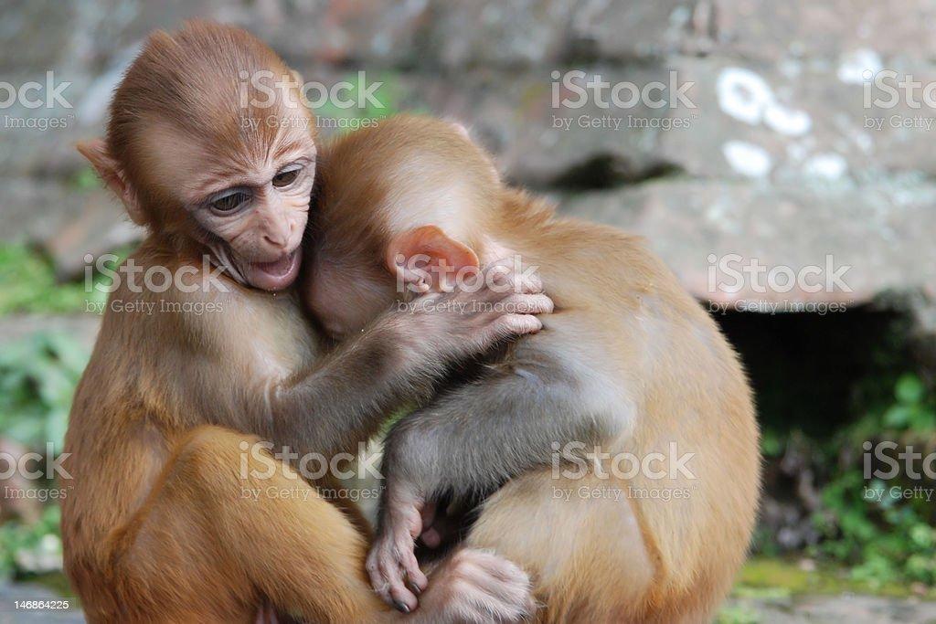 Monkey Hug royalty-free stock photo