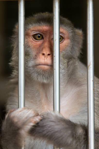 monkey in a cage. rhesus macaque - macaca mulatta - macaco foto e immagini stock