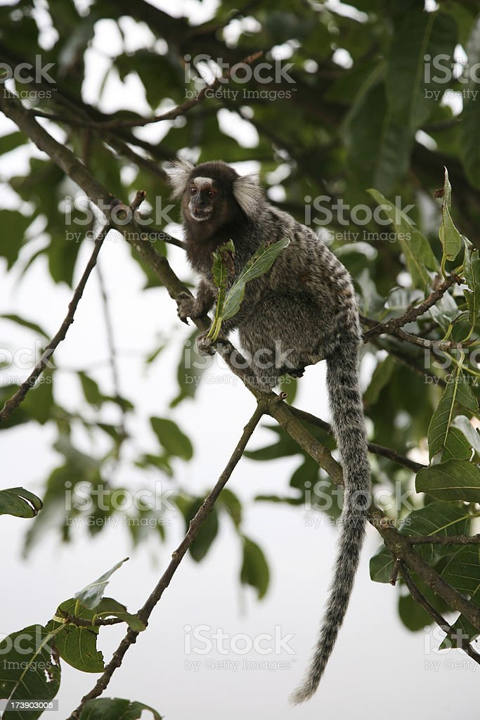 Monkey In A Tree royalty-free stock photo