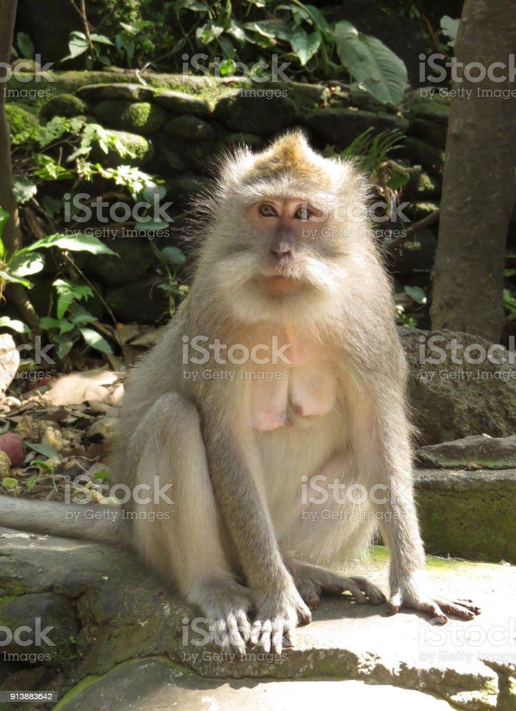 Monkey in Bali stock photo