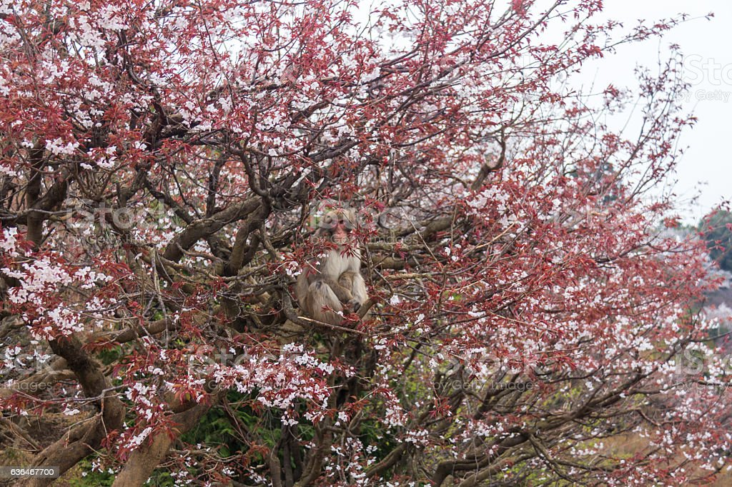 Monkey In Cherry Blossom Tree In Kyoto Japan Stockfoto Und Mehr