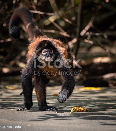 A monkey in costa rica in the rainforest