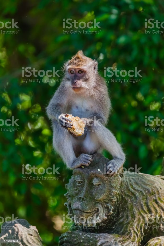 Monkey in forest park in Ubud - Bali Indonesia photo libre de droits