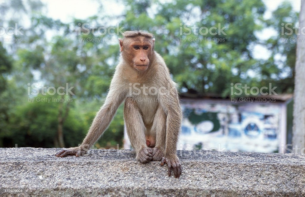 Monkey in India royalty-free stock photo