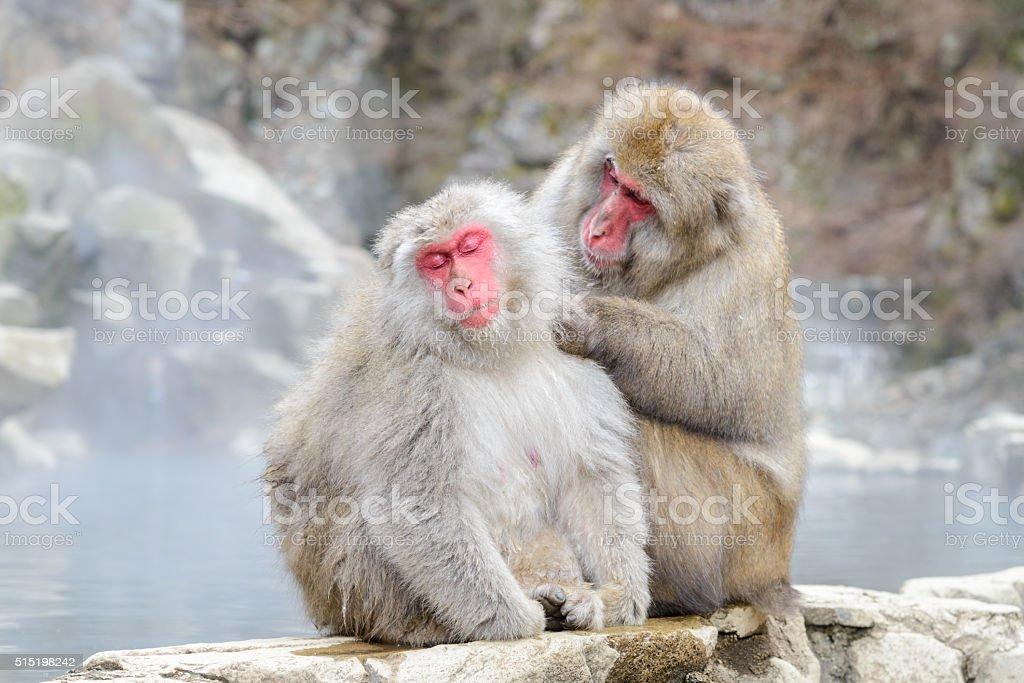 Monkey in Jigokudani Monkey Park or Snow Monkey stock photo
