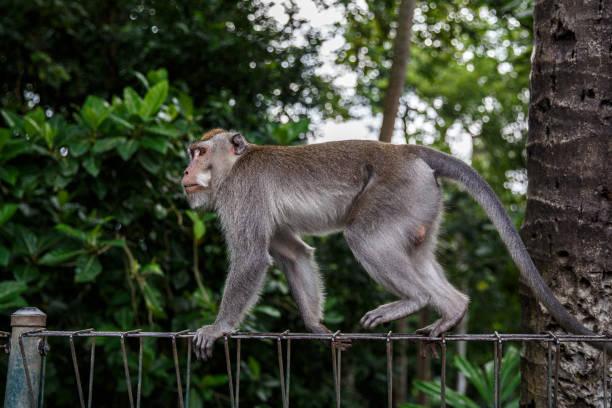 monkey in jungle is walking along the fence. - bugio imagens e fotografias de stock
