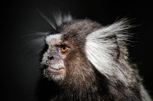 Monkey in Rio de Janeiro Common Marmoset monkey photographed on Sugarloaf Mountain in Rio de Janeiro. common marmoset stock pictures, royalty-free photos & images