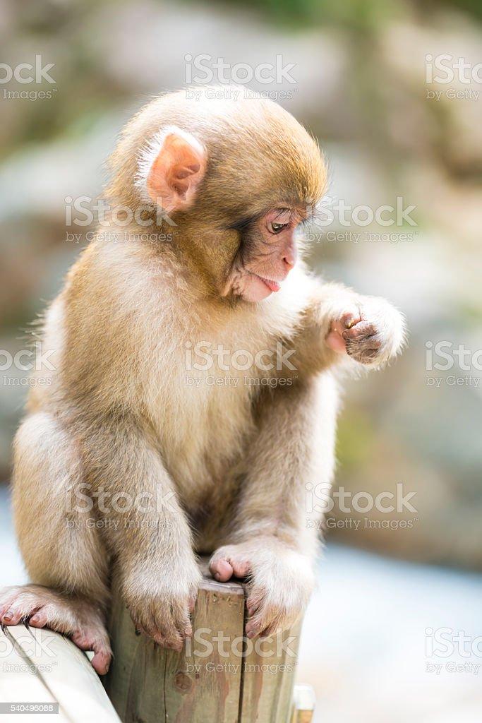 Monkey in Spa Japan stock photo