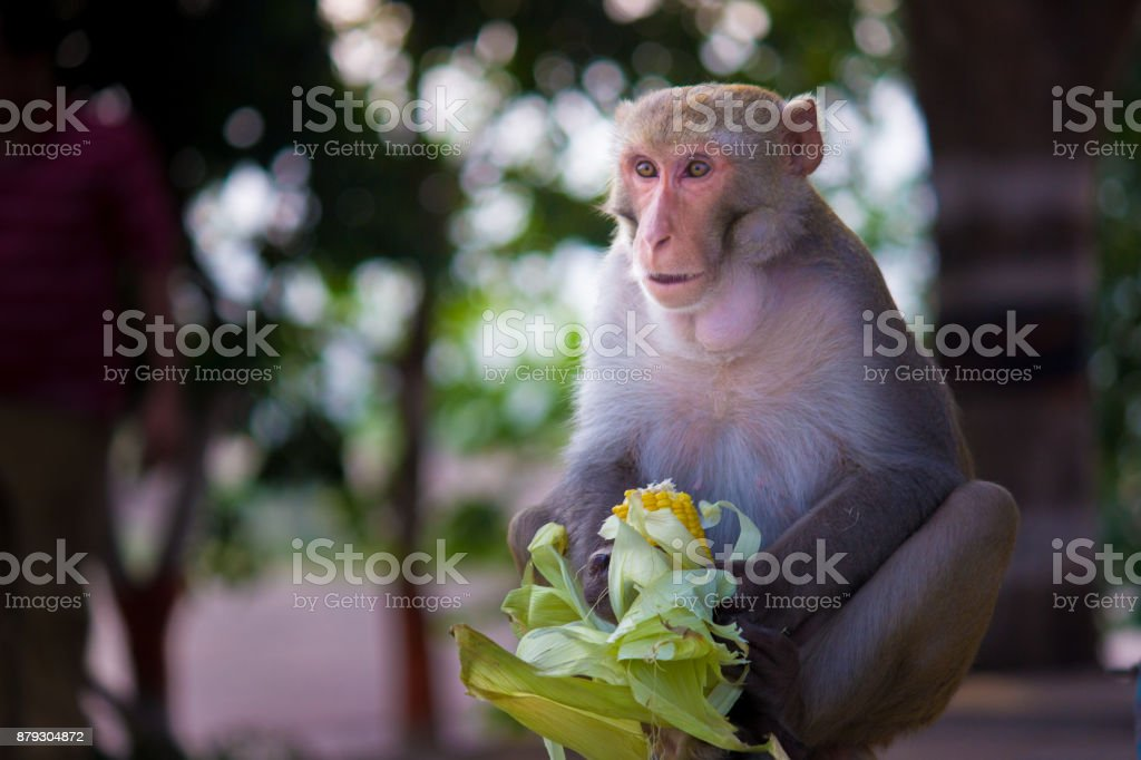 Monkey in Temple stock photo