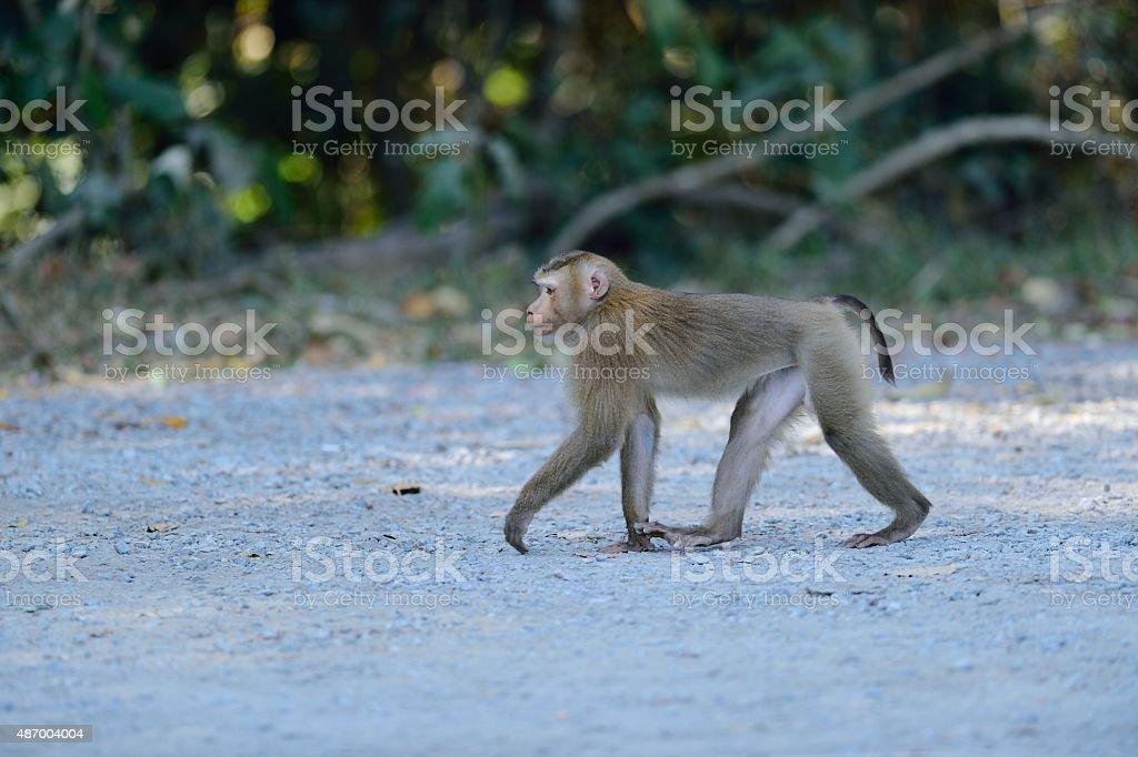 monkey in thailand stock photo
