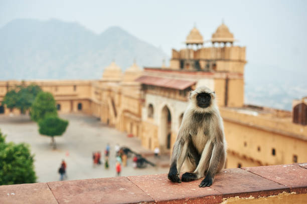 Monkey in the Amber Fort in Jaipur, India. Hanuman Langur or Gray Langur - sacred animal in India. Monkey in the Amber Fort in Jaipur, India. Hanuman Langur or Gray Langur - sacred animal in India. langur stock pictures, royalty-free photos & images