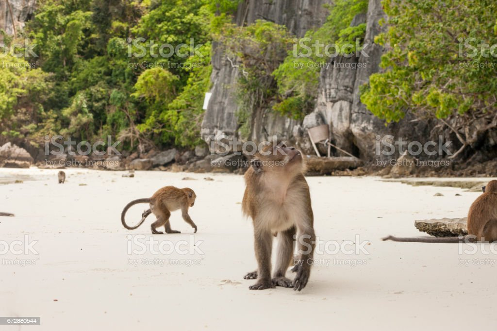 Monkey in the bay of monkeys on Phi Phi island, Thailand stock photo