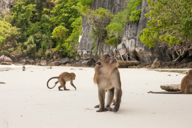 Monkey in the bay of monkeys on Phi Phi island, Thailand - Photo